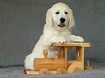 R Ann Johnson Golden Retriever Hundezucht der ...